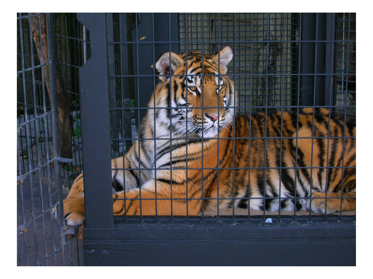 tiger in a cage, photo by greg dampier by Greg Dampier - Illustrator & Graphic Artist of Portland, Oregon