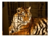 Photography • Tiger In A Cage 2 Phot By Greg Dampier by Greg Dampier All Rights Reserved.
