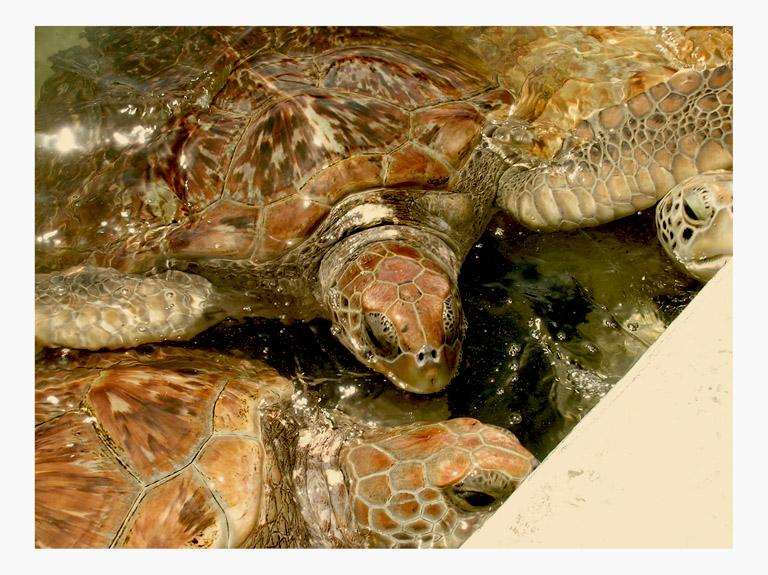 turtle huddle cayman islands by Greg Dampier - Illustrator & Graphic Artist of Portland, Oregon