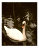 Photography • Swan Lake Photo By Greg Dampier by Greg Dampier All Rights Reserved.